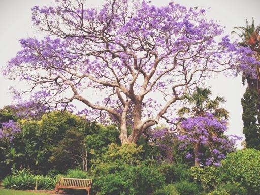 jacaranda tree botanical gardens