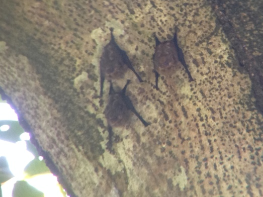 Miniature bats Manuel Antonio