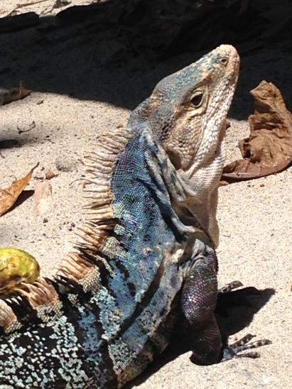 A freakin' massive Iguana Manuel Antonio