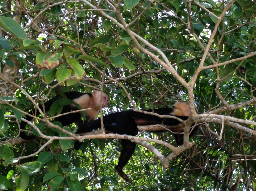 Capuchin Monkeys Manuel Antonio