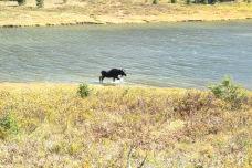 Rocky Mountain Moose